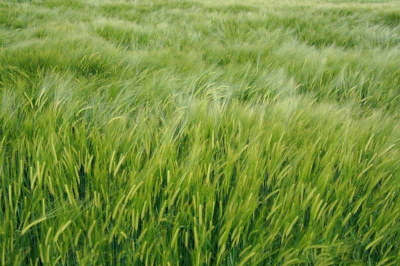 Claudias Foto-Alben: Gräser und Getreide